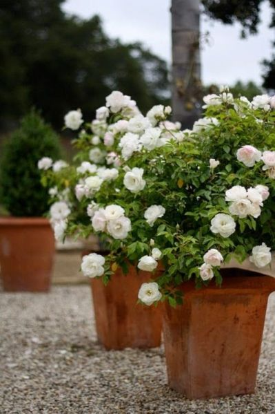 Potted White Roses:
