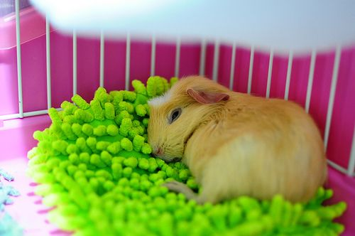 Guinea Pigs The Perfect Pet Life, Can You Use Microfiber Towels For Guinea Pig Bedding