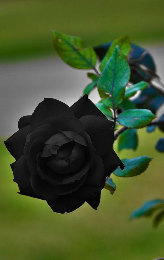 Natural Black Rose: