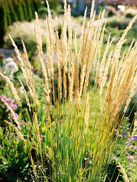 Ornamental grasses, Grasses and Feathers on Pinterest