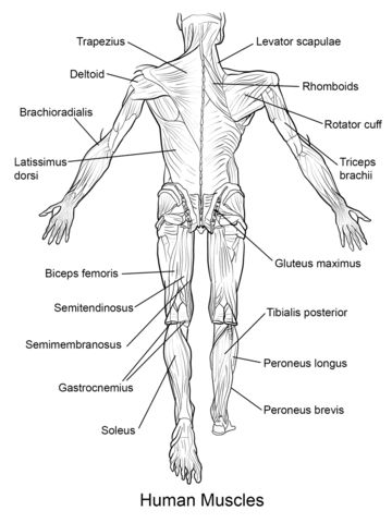 biology muscle and great websites on pinterest
