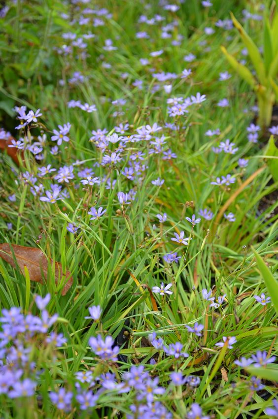 Blue-eyed Grass Wild Flower Seed. Blooms in summer. A Utah native species. Under scrub oak: