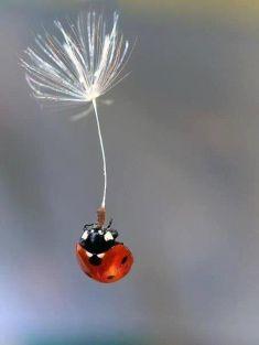 Ladybug flight dandelion