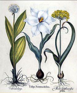 ilustración planta gutapercha