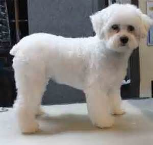 Maltese poodle haircuts image collections haircuts for men and women maltese poodle haircuts the best haircut of 2018 best 25 maltipoo haircuts ideas on maltese poodle winobraniefo Image collections