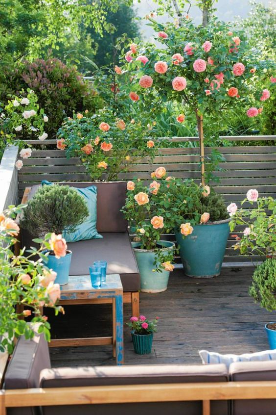 Growing Roses in Containers (Balcony, Patio and Terrace):