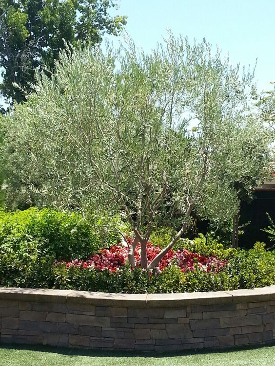 Swan Hill Fruitless Olive Tree as centerpiece for yard