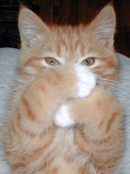 Image result for shy kitten meme