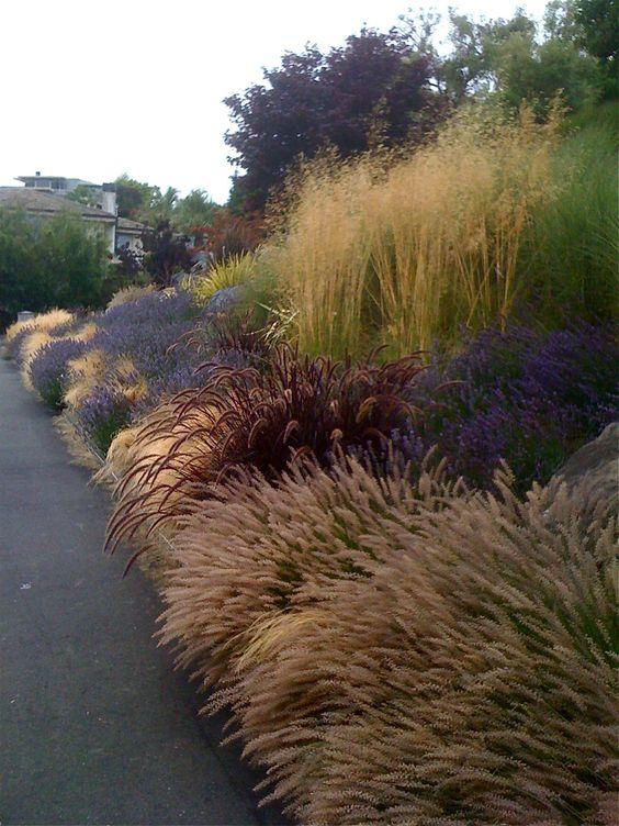 (Front driveway: Pennisetum orientalis, Pennisetum setaceum Rubrum, Stipa tenuissima, Lavandula Provence, Stipa gigantea):