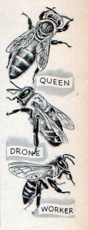 Ants and Bees, Illustrations by C. & A. Koehler, 1962- Bees.My cousin raises bees so maybe I could make him something out of this?: