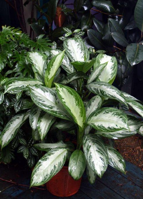 La miscela ideale per la coltivazione delle Agloanema è composta da una parte di torna e una di terriccio di foglie