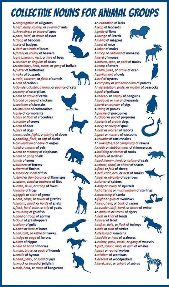 Collective nouns for animal groups. Pinterest Trivia