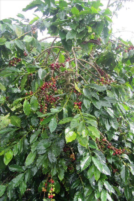 Sumatra Arabica Gayo Coffee Arabica Gayo Coffee