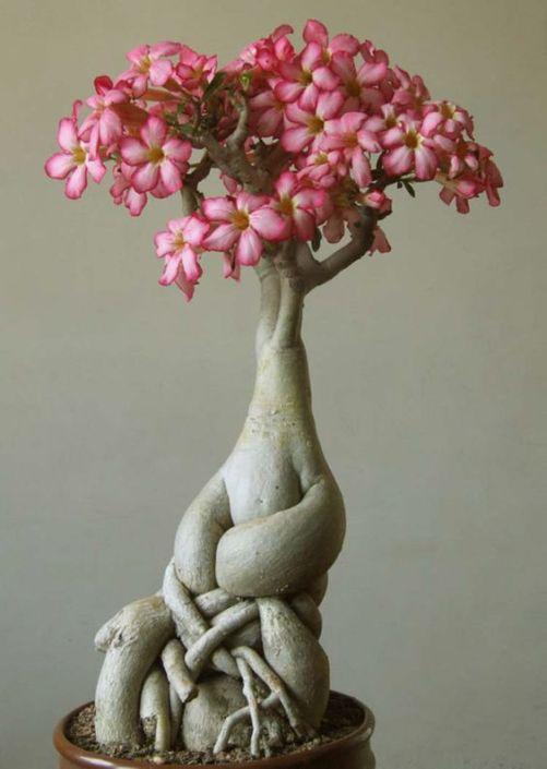 LaRosa del desertoo Adenium è una pianta originaria dell'Africa che ha bisogno di unterreno ben drenatoe di molto sole