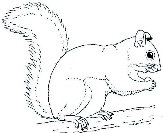 squirrel coloring pages and colouring pages on pinterest