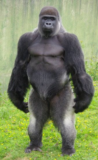 Gorilla an Amazing species standing