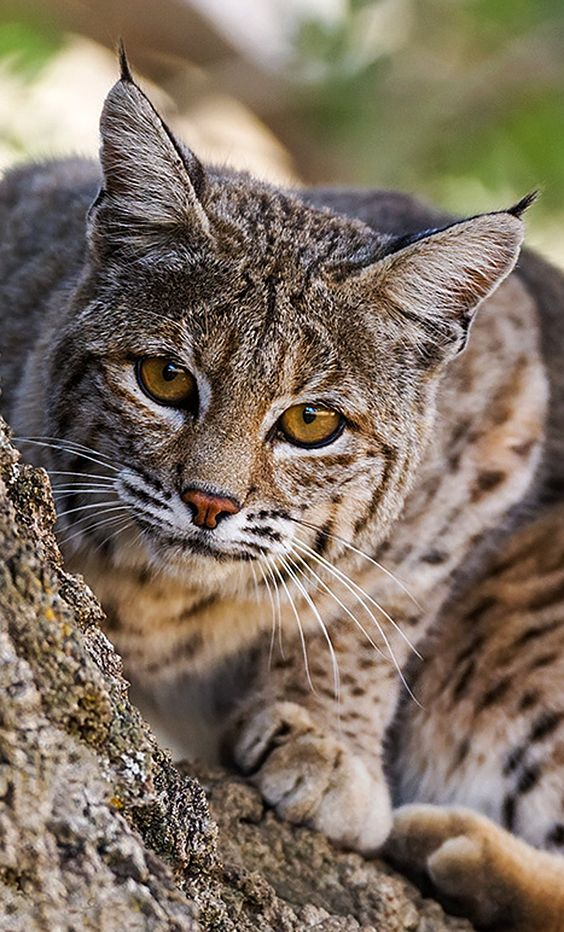Caracal, Nature animals and Lynx on Pinterest