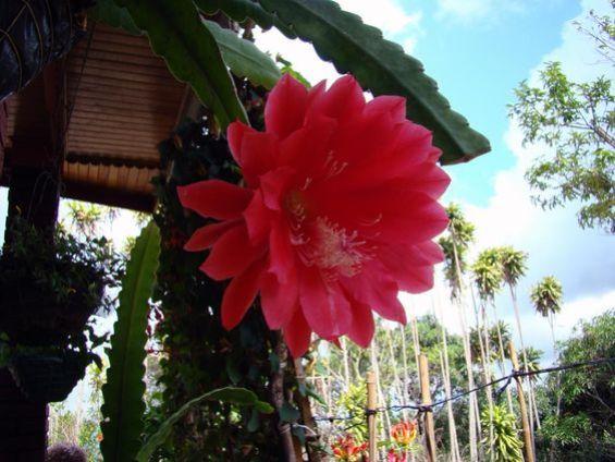 Il cactus orchiedea è originario delle zone tropicali del Centro e Sud America, il suo habitat naturale è la foresta in cui vive in un ambiente caldo e luminoso ma ben protetto dai raggi solari diretti
