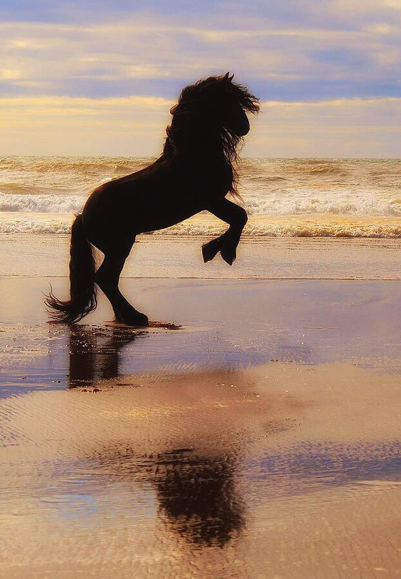 Friesian Horse Rearing On The Beach In The Sunset Equine