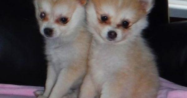 Teacup Pomeranian Puppies Adoption