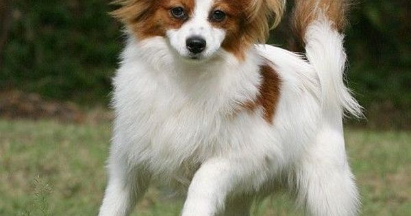 Image Result For Papillon Hair Cuts Misc Pinterest