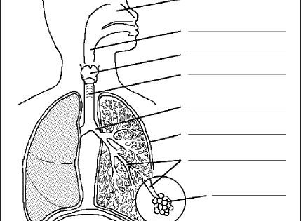 Chsh The Respiratory System Teaching Resources And