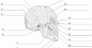 Unlabeled Skeleton Print Out | Human Skull Diagram