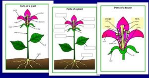 simple diagram of a plant for kids | science for kids
