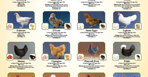 Chicken Egg Color Chart