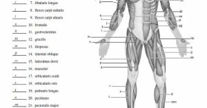 Blank Muscle Diagram to Label | SCHOOL STUDY | Pinterest