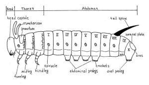 Caterpillars Anatomy Diagram Caterpillars | Insects