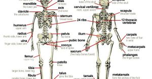 206 bones diagram Front and back view of the bones of the human body | What a Body
