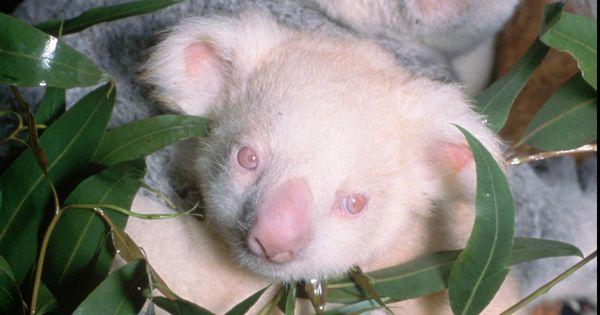 18 Amazing Albino Animals Koala Animals Pinterest Animal