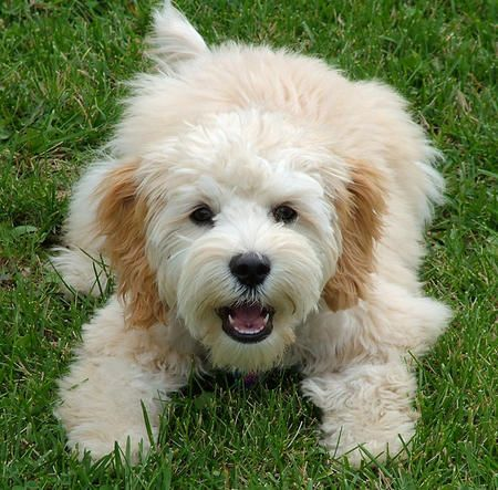 17 Best Images About Yorkie Poodle And Cocker Spanial Poodle Mix Love Them On Pinterest