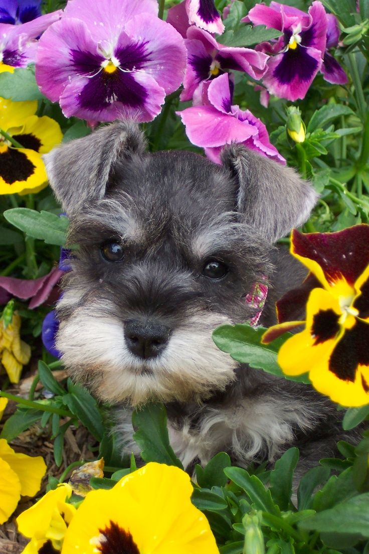 Piper. Really? Schnauzer puppy AND pansies?? Two of my