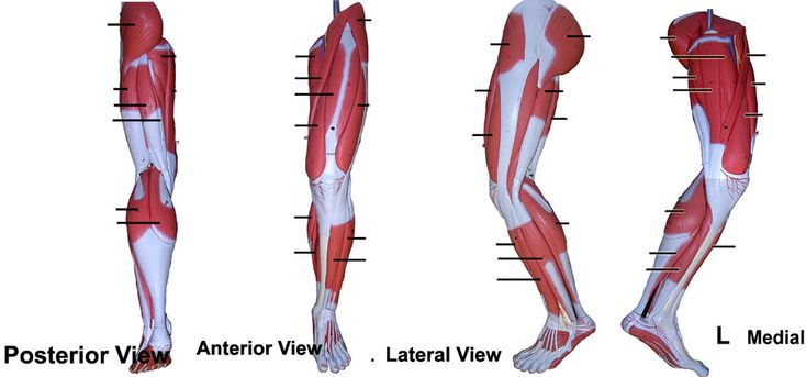 Leg Muscles And Ligaments