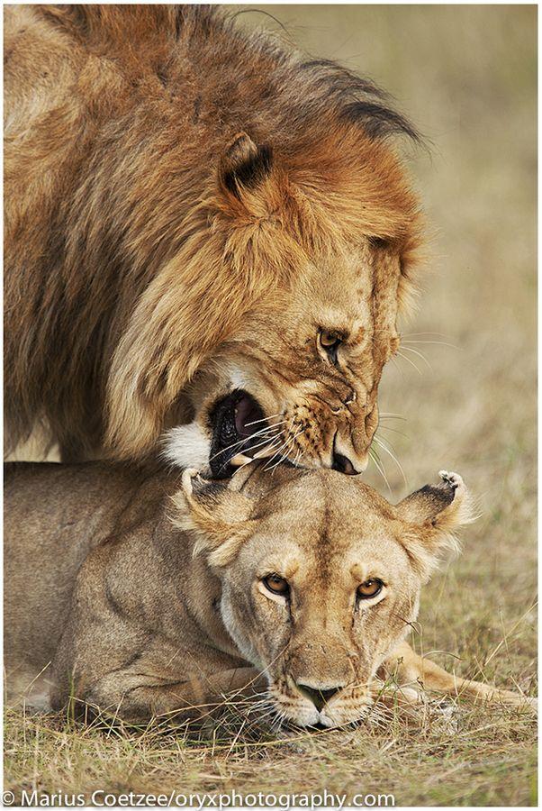 Mating Lions Animals Wildlife Pinterest Animals