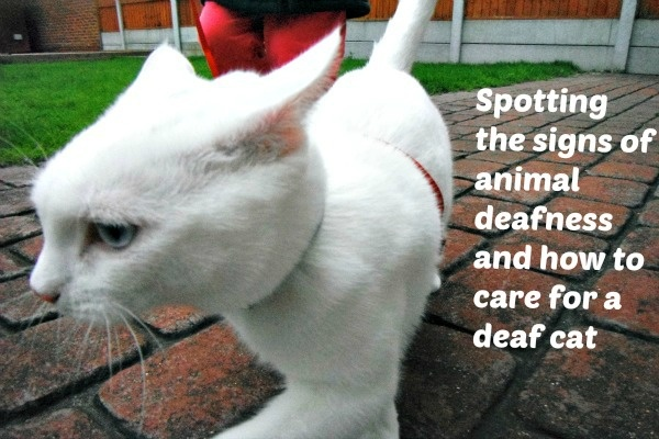 The sound of silence How to tell if your cat is deaf and