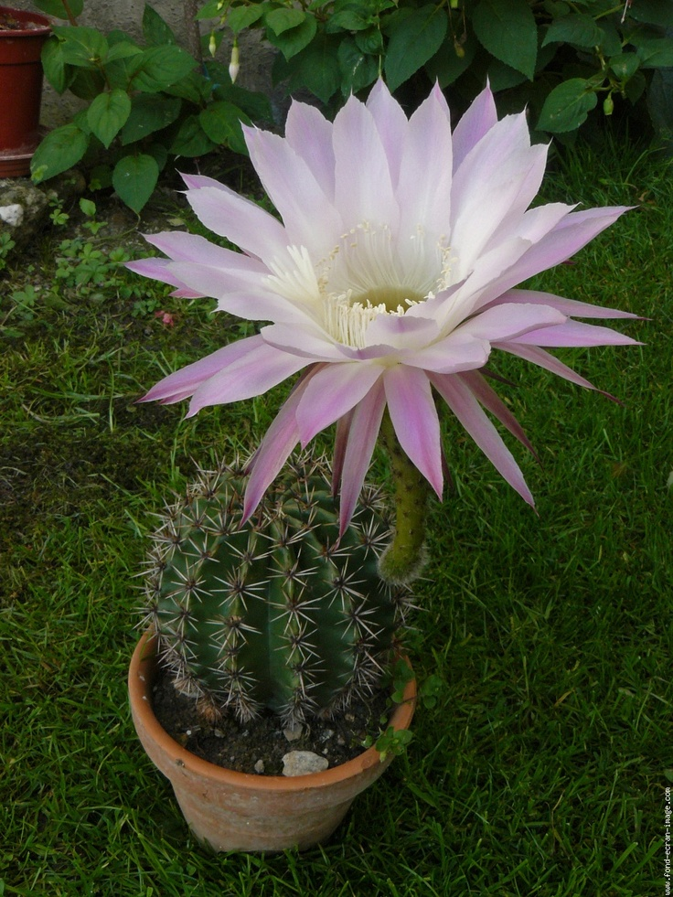 easter lily cacuts Scientific Name Echinopsis multiplex