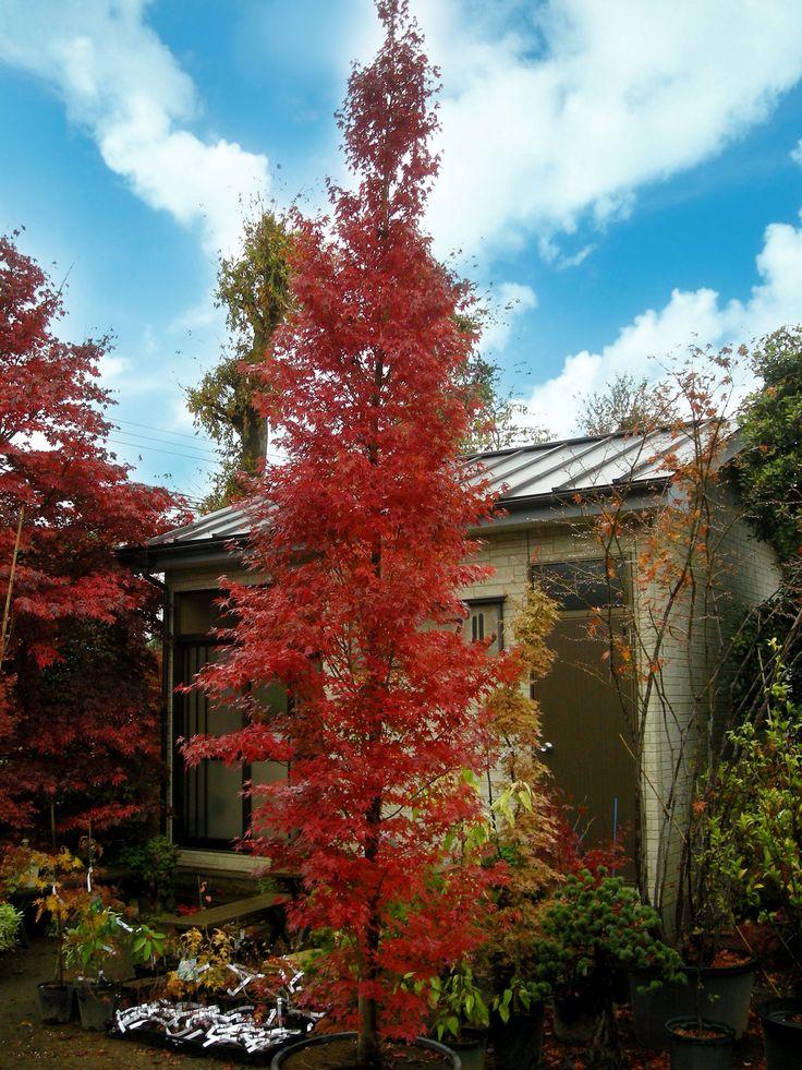 AP 'Tsukasa' is an extreme uprightgrowing, vigorous tree