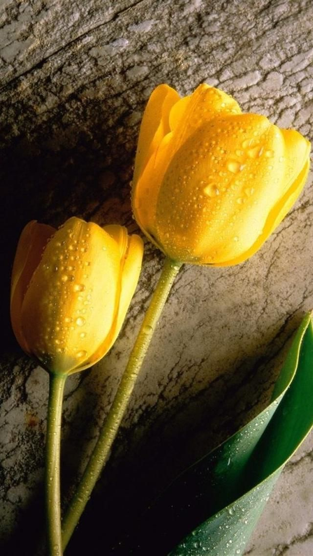 Yellow Tulips iphone 5 HD wallpaper Cell Phone Wallpaper