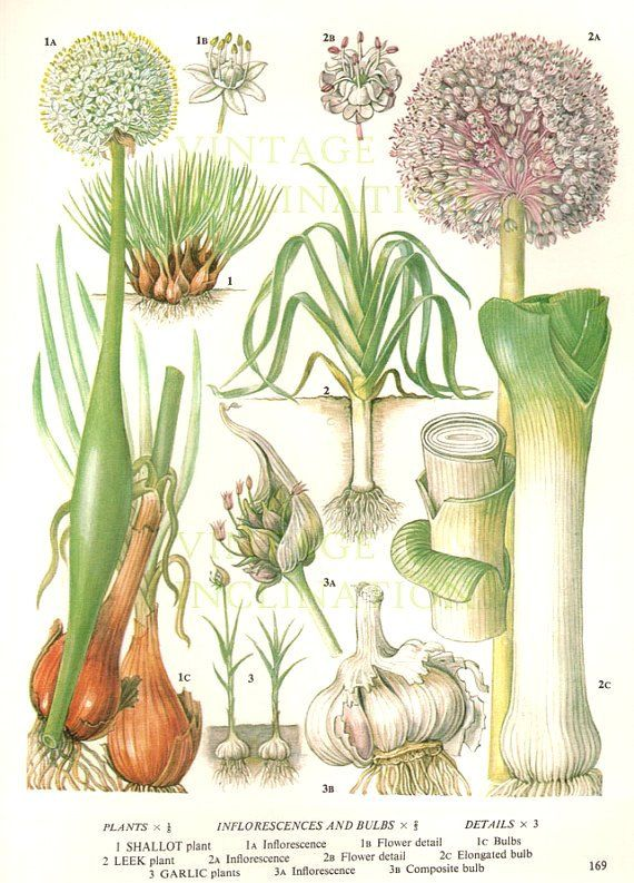 Vintage Botanical Print Antique LEEKS GARLIC, plant print