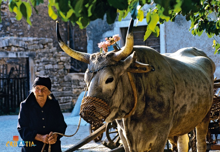 Boškarin is a famous Istrian cattle. This animal is one of