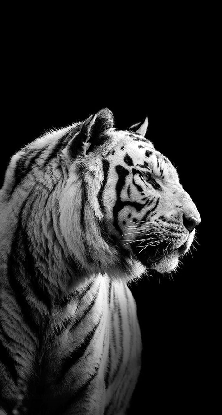 iPhone, Siberian Tiger, Black Wallpaper iPhone