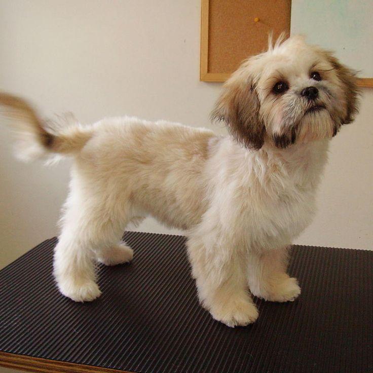 Bichon Poodle Haircut Styles