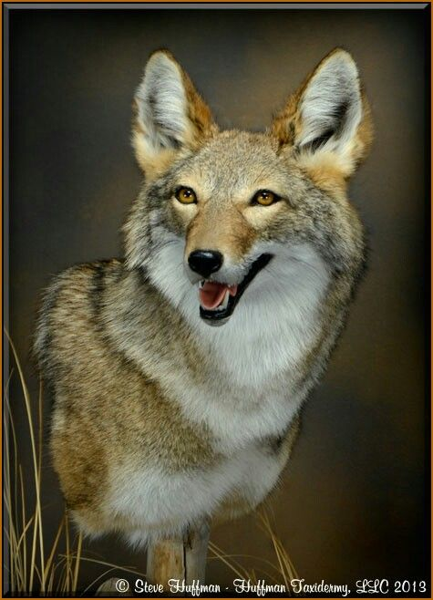 17 Best Images About Coyote Reference Pics On Pinterest Beautiful Wolves And Coyotes
