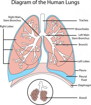 lungs diagram | How do we breathe? (Lungs and Pleura