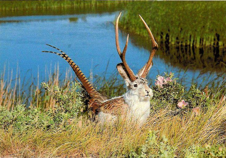 jackalope Google Search Animals(Jackalopes) Fakes