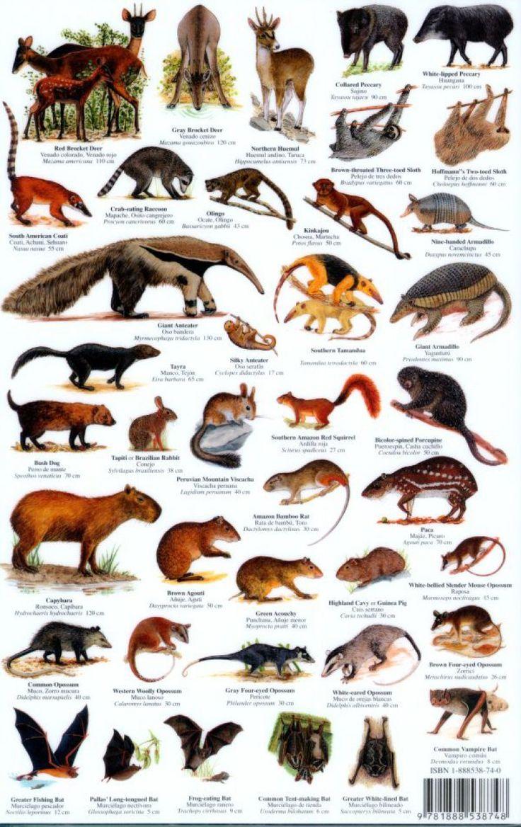 mammals Peru Mammals WildLife! Pinterest Mammals