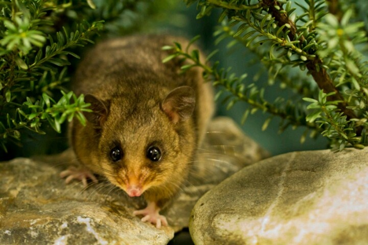 "Mountain pygmy possum ""Although undeniably small, this"
